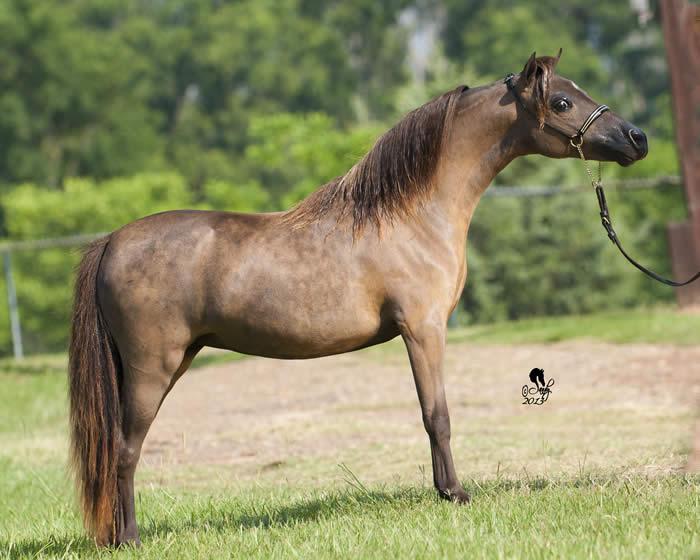 champion mini horse mare